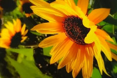 1_Sonnenblume
