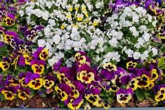 Blumen-Mittelstrasse-Lemgo