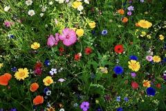 Wildblumenwiese01
