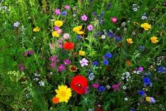 Wildblumenwiese03