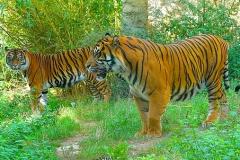 1_Tiger-Zoo-OS