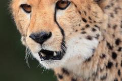 Gepard_a
