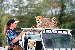 Geparden-WG_Safaripark_Eroeffnung02