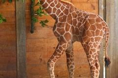Giraffe-Mädchen