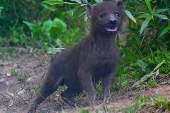 Hyene-klein