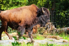 Manitoba-Bison