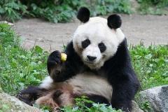 Panda-Zoo-Berlin