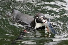 Pinguin-Fisch-OS