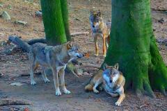 Wölfe-Zoo-OS