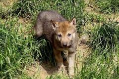 Wolf-1Monat-alt