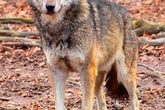 Wolf-Zoo-OS01
