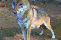 Wolf-Zoo-OS02
