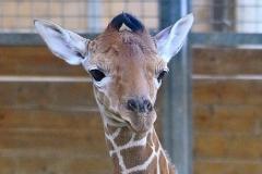 junge-Giraffe-Zoo-OS