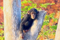 junger-Schimpanse-Zoo-OS
