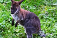 kleines-Känguruh01